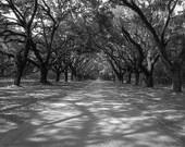 Black & White Photograph of Oak Trees in Georgia 5x5