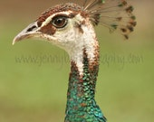 Peahen - Color Photograph