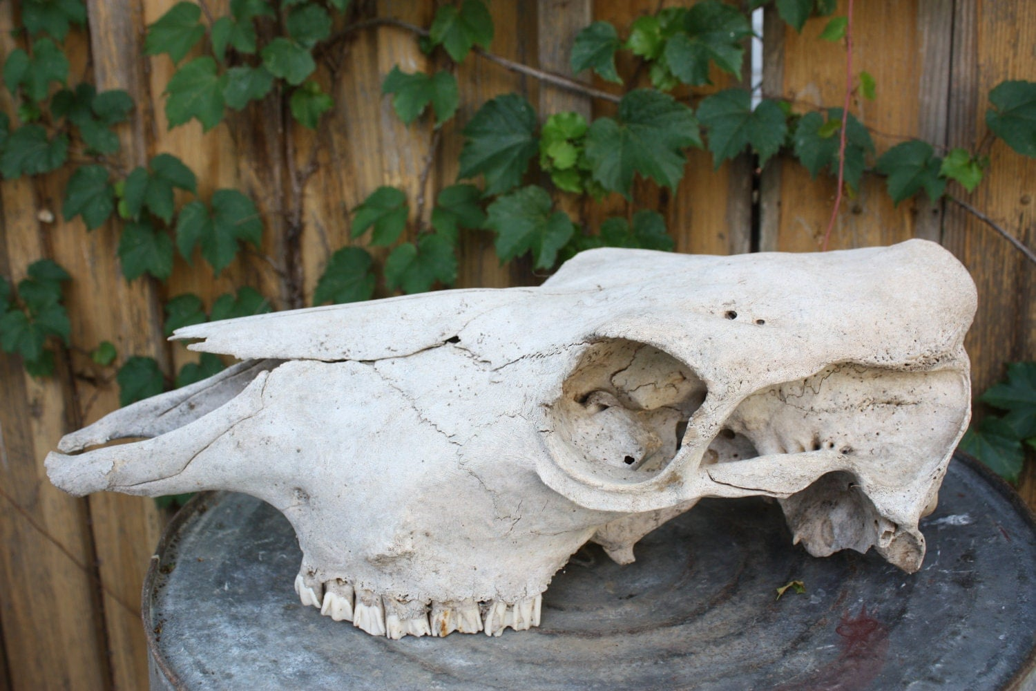 Real Cow Skull Western Home Decor Western By Eightysix56