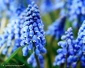 Flower Photography - Grape Hyacinth Photograph - Spring - Purple Flowers - Minimalist - Fine Art Photography Print - Purple Home Decor