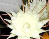 Epiphyllum Oxypetalum Cutting- Beautiful Bright White Fragrant Flowers