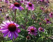 Coneflower Seed Organic  Purple Echinacea tennesseensis Native Plant Seed Prairie Plants Drought Tolerant Perennial Butterfly Garden Plant