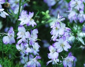 Larkspur Seeds Purple Wildflower Seeds LARGE Seed Packet BULK Seeds Fresh From This Year's Harvest