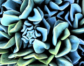 Nature Photography Sedum Photograph Blue Succulent Metallic Fine Art Photograph 11 x14