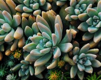 Sedum Plant Photograph, Fine Art Photo, Wall Art, Office Decor, Rustic Farmhouse Artwork, Succulent Photography