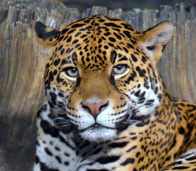 Jaguar Face: Jaguar Eyes Photograph