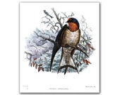 Swallow - Hirundo Angolensis, vintage illustration printed on Parchment paper. Buy 3 and get 1 FREE, nursery room decor