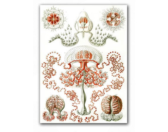 Sea Creatures - Jellyfish Anthomedusae, vintage illustration printed on Parchment paper. Buy 3 and get 1 FREE