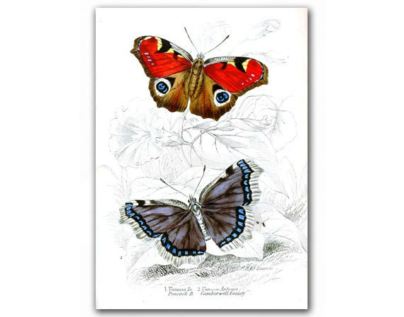 Amazing Butterflies, vintage illustration printed on Parchment paper. Buy 3 and get 1 FREE