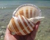 4 - 5 in Banded Tun Large Seashell - Tonna Sulcosa