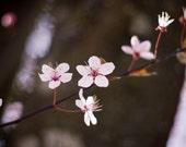 Zen Cherry Blossom Photography  8x12 Original  Fleeting Beauty Photograph  FREE SHIPPING  Pink Flowers Metallic Print Romantic Feminine