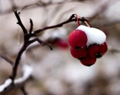 Snow Berries Photography Red Winter Holiday 8x10 Original Fine Art Photograph - White - Christmas Season - Rustic Country Tree Branch