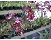 Sharry Baby, the Chocolate Orchid - nicely started seedling