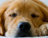 Sleeping Golden Retriever Photo, Blank Card