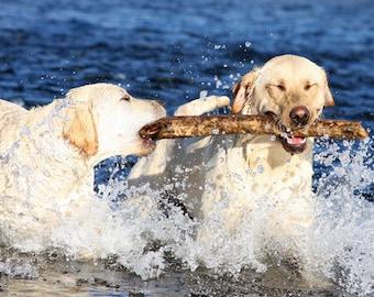 For the Love of a Stick, Labrador Retriever Photo, Blank Card