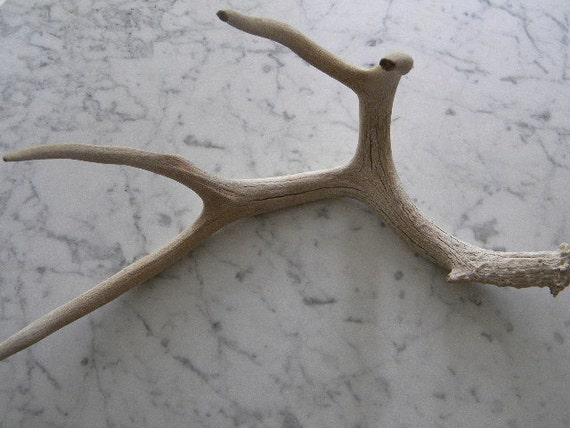 natural aged weathered white deer shed antler