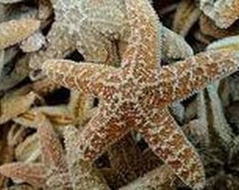 "50 pcs 3-4"" Sugar Starfish Bulk"