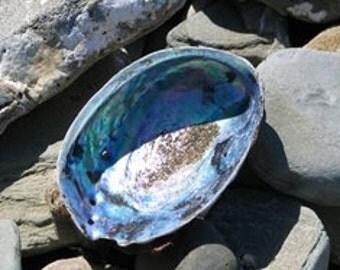 """12 pcs 6-7"""" Blue Abalone Bulk"""
