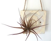 Wall decor with Antique Wood with Pretty Air Plant - made in Brooklyn