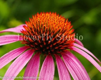 Purple Coneflower -- 8x10 Nature Photograph