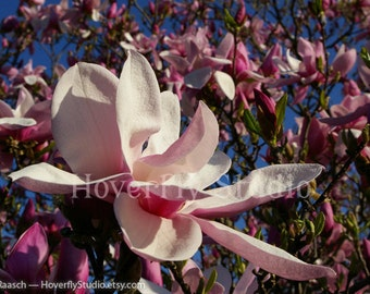 Saucer Magnolia - 8x10 Nature Photograph