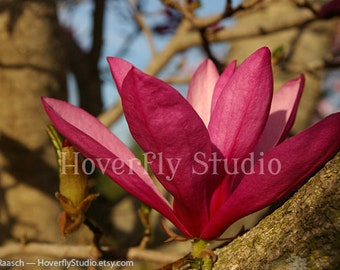 Magnolia Flower Amongst the Branches - 8x10 Nature Photograph