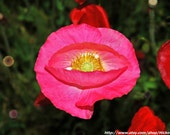 "Eye of the Pink Poppy Fine Art Print 8"" x 10"""