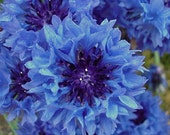 10 Origami Star Seeds - 20 Seeds - Seed Bomb - Blue Bachelor's Button - Cornflower