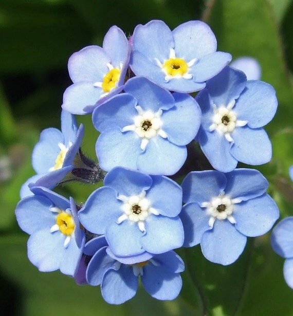 how to harvest forget me not seeds