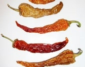 Heirloom Anaheim - 6 Red and Gold Dehydrated Homegrown Long Peppers with Perfect Seeds still Inside