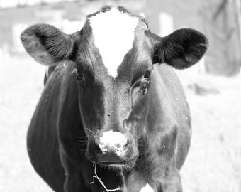 Farm Photograph - Mama to Be - 8x10 Photograph Pregnant Cow in Field