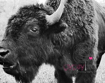 Farm Photograph - Don't Buffalo Me  - 8x10 Photograph Buffalo in Field