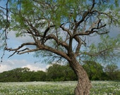 PHOTO There Was a Crooked Tree Texas Landscape Photography