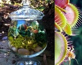 Buy1 get 1 FREE- Carnivorous plant upcycled glass apothecary jar terrarium