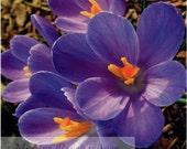 Note Card Purple Crocus - March 16, 2012