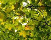 "Autumn Begins - Beneath The Great Maple.  8"" X 10"" Print. Fine Art Photography"