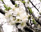 """Plum Blossoms 8"""" X 10"""" Spring White Blossom Print, Flowers, White Flower, White Blossoms, Plum Tree, Fruit Tree"""