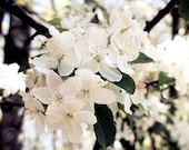 """Apple Blossoms 8"""" X 10"""" Floral Print, White and Pink Spring Blossoms, Fine Art Photography"""