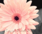 Flower Photography Daisy Gerbera Pink--Fine Art Nature Photography 8x10
