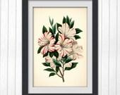 Vintage Botanical print 81, a classic flower illustration, giclee print home decor.