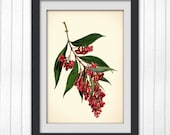 Vintage Print 101, a stunning red botanical illustration from a vintage bookplate.