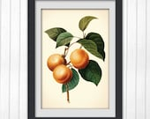 Art print, fruit illustration, print 119,vintage botanical illustration upcycled into modern wall print