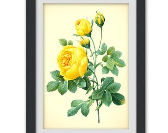 Yellow rose botanical print, wall art digitally produced from a vintage book plate, 8x11 wall art.