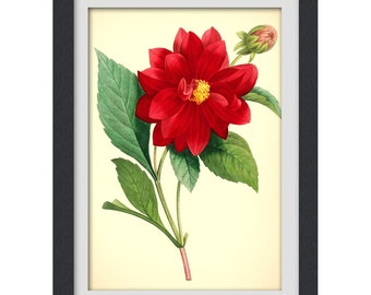 Flower illustration 31, a vibrant vintage red botanical art print produced from a antique book plate.
