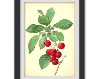 Red Berries Art print 36, a vibrant vintage botanical art print produced from a antique book plate.