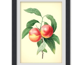 Botanical art, a botanical fruit illustration produced from an antique book plate. #39 INSTANT DOWNLOAD