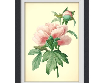 Flower Print 47, Redoute illustration, produced from a vintage bookplate, 8x11 wall art.