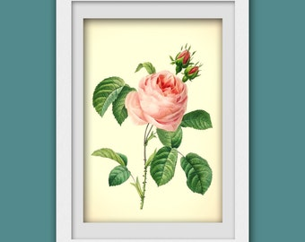 Vintage rose print, Pink Rose digital botanical print pdf, Rose illustration, 8x11 wall art, Instant Download No 62