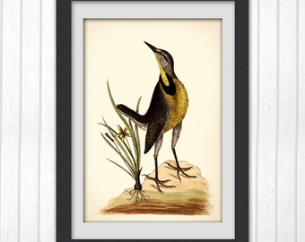 Bird art, botanical art print produced from a vintage book plate, #73 INSTANT DOWNLOAD
