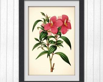Flower art 105, a stunning vintage botanical illustration art print.